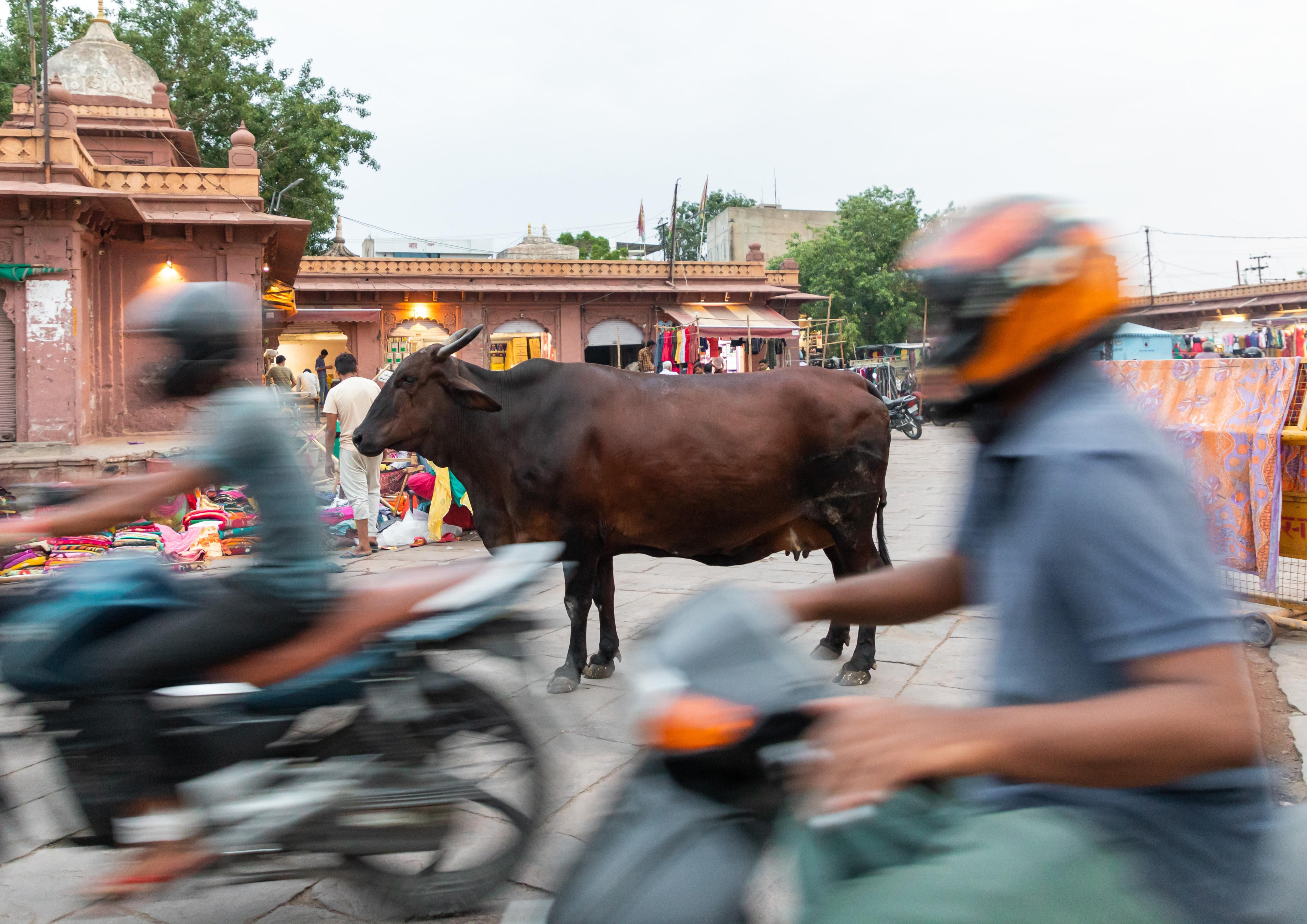 Cow standing in the middle of the street in the traffic of motorbikes, Rajasthan, Jodhpur, India.