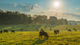 Cows grazing in the countryside: Walmart sets goal to become regenerative company