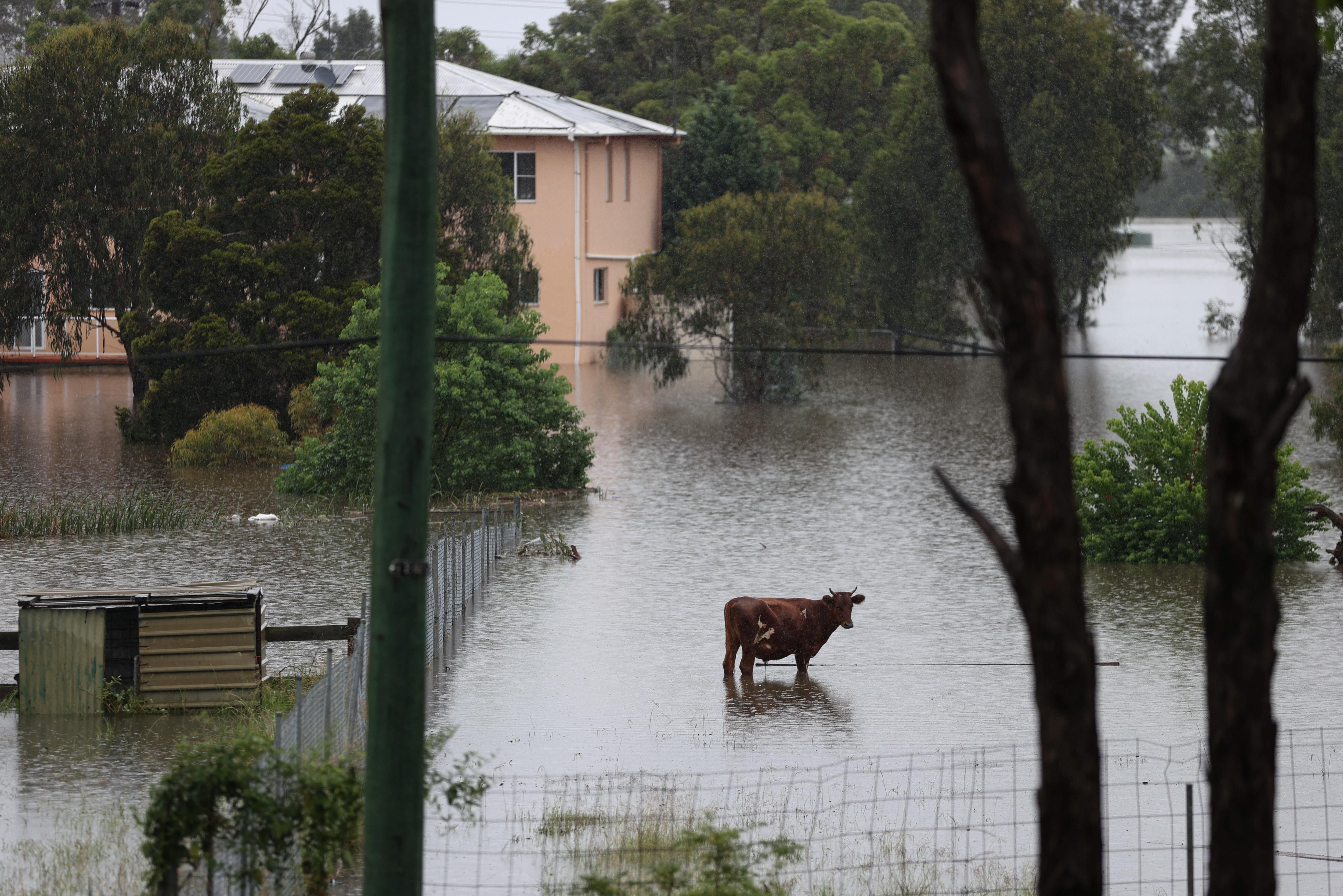 Livestock is seen as floodwaters rise in the suburb of Windsor, as the state of New South Wales experiences widespread flooding and severe weather, in Sydney, Australia, March 22, 2021.