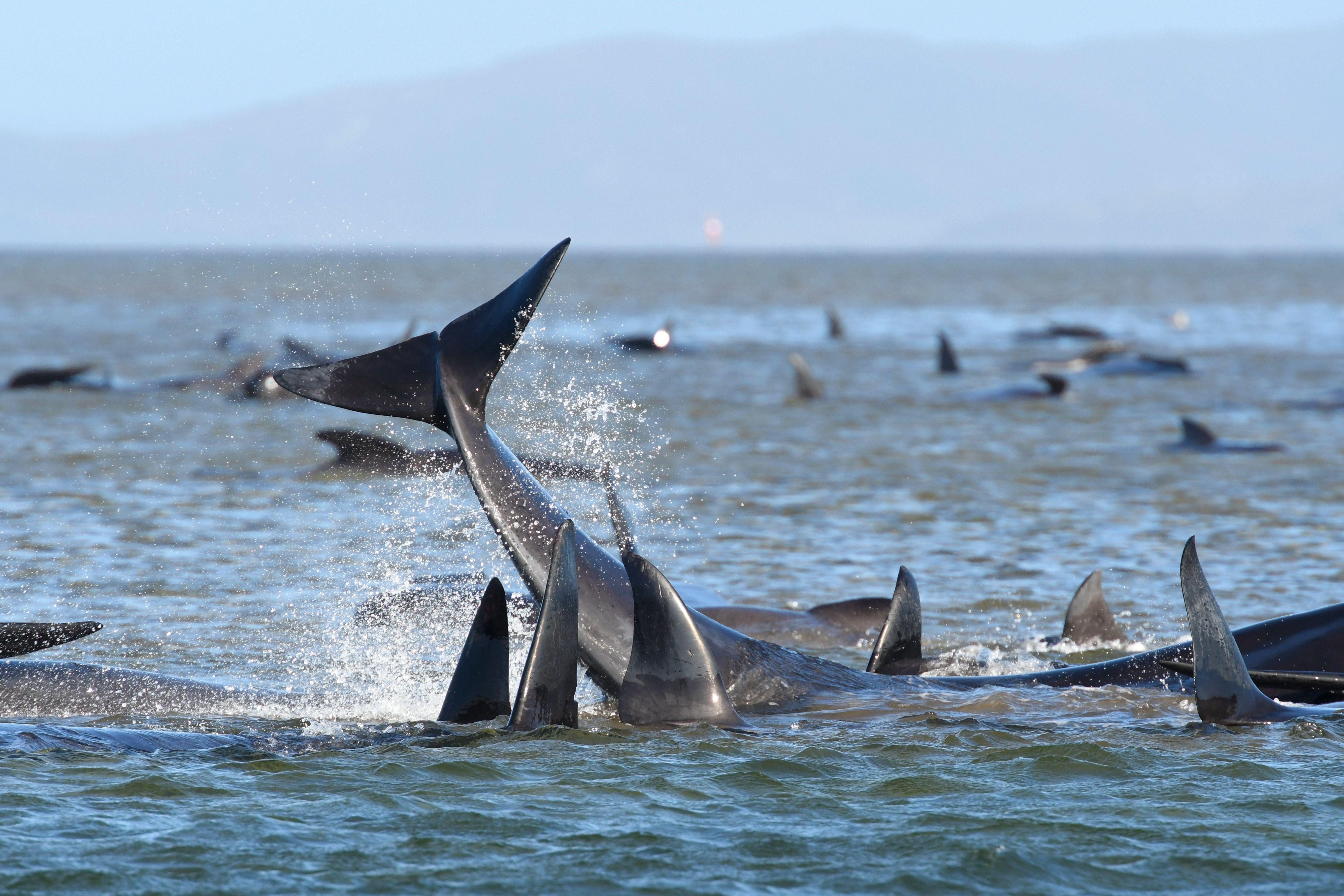 Pod Of 250 Pilot Whales Stranded In Macquarie Harbour, Tasmania