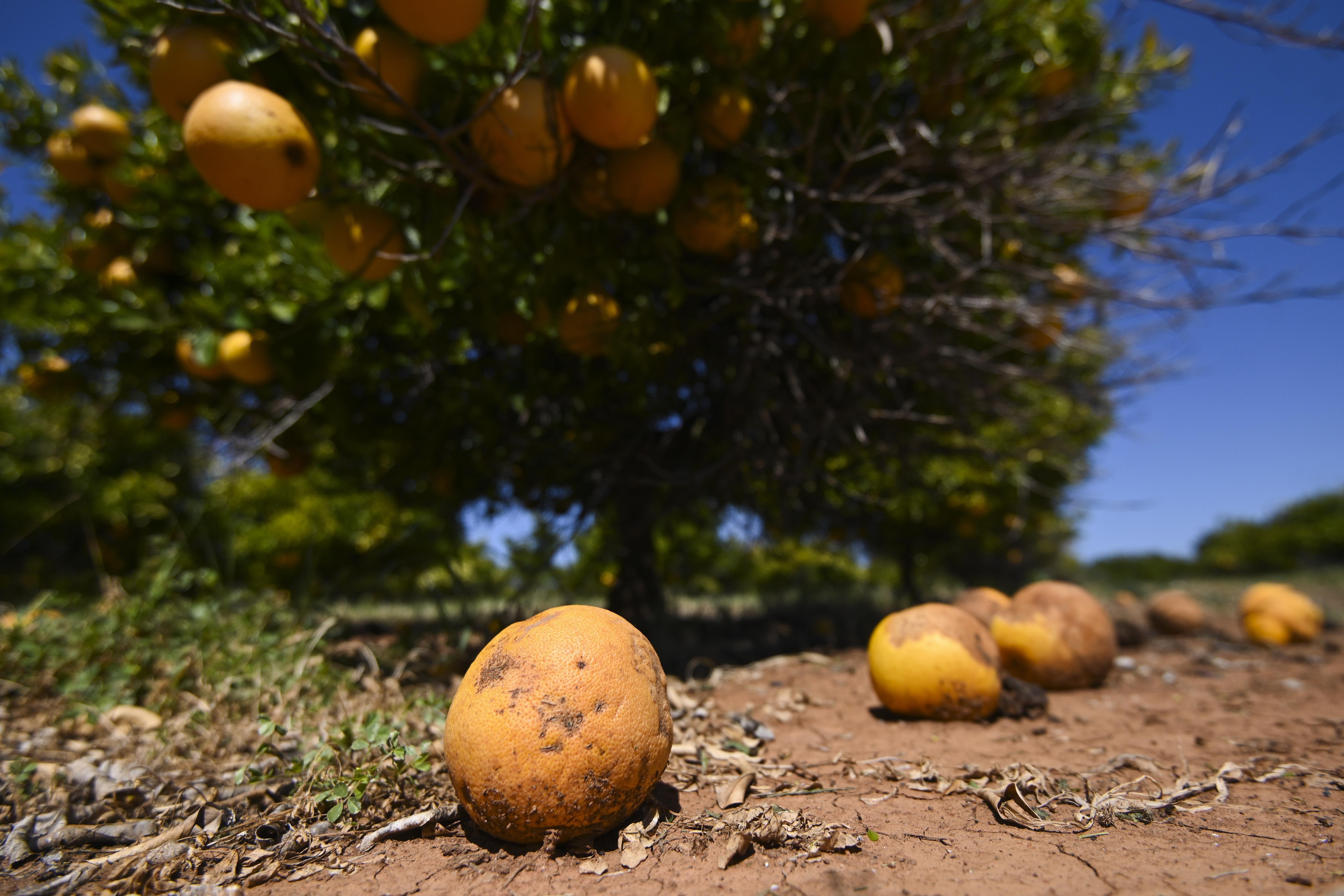 Rotten Grapefruits lay under a tree on a farm near Leeton, NSW, Thursday, October 1, 2020.